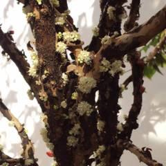 Jabuticabeira em Flor: Terraços  por Amaria Gonçalves - Design Paisagismo