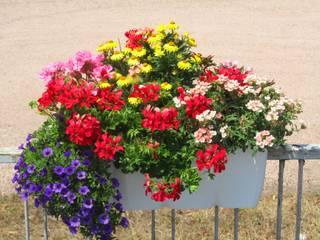 Sommer Balkonpflanzen blühen den ganzen Sommer und Herbst. Sie werden von April bis Juni gepflanzt.:   von Harro's Pflanzenwelt