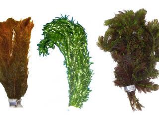 Teichpflanzen von aquariumpflanzen.net Klassisch