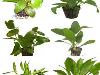 Aquariumpflanzen von aquariumpflanzen.net Klassisch