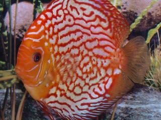 Diskusfische:   von aquariumpflanzen.net