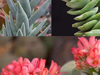 Crassulaceae oder auch Dickblattgewächse:   von Andreae Kakteenkulturen