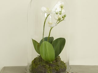 Orchid in glass Adventino Klasik