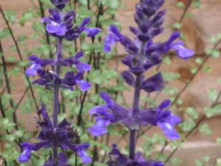 Salvia and Pittosporum: modern Garden by Fenton Roberts Garden Design