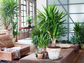 Die Yucca - Zimmerpflanze des Monats Januar:  Wohnzimmer von Pflanzenfreude.de