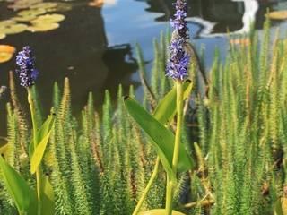 Teichpflanzen Seerosenwelt.de GartenPflanzen und Blumen