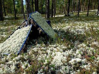скандинавський  by İskandinav Ormanlarından Canlı Tablolar, Скандинавський