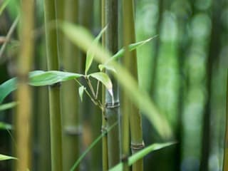 Bamboo:  Garden by Best4hedging