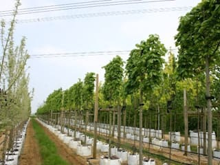 Tilia euchlora Pleached: country Garden by Barcham Trees Plc