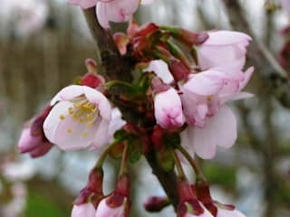 Prunus Hilliere Spire: country Garden by Barcham Trees Plc