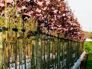 Prunus Royal Burgundy: country Garden by Barcham Trees Plc
