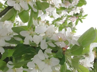 Malus Golden Hornet: country Garden by Barcham Trees Plc