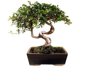 asian  by Genki-Bonsai, Asian