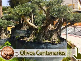 Venta de olivos El Ventorro 1920 de Venta de olivos El Ventorro 1920 Rústico