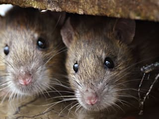Rodent control:   by Cape Town Pest Control