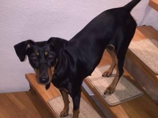BELLOsteps® Stufenauflagen für Hunde ohne Kleber:   von Kettelbetrieb Tesche