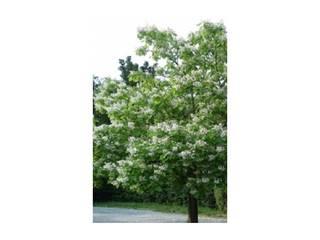 Het planten van Trompetboom: landelijke Tuin door onlinegroen