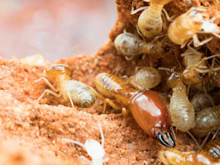 Professional Pest Control Services:   by Solid Hygiene Solutions Cape Town