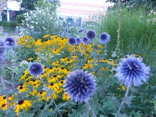 """Anfang August: Sonnenhut """"Goldsturm"""" und seine blaue Gegenspielerin, die Kugeldistel Gartenarchitekturbüro Timm Rustikaler Garten"""
