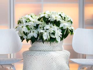 Pflanzenfreude.de Interior landscaping Cotton White