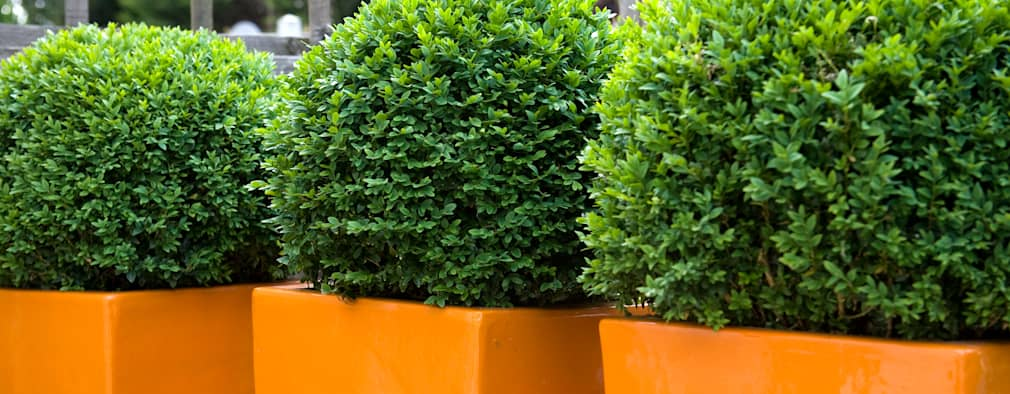 Ornage fibreglass planters and box balls: modern Garden by Earth Designs