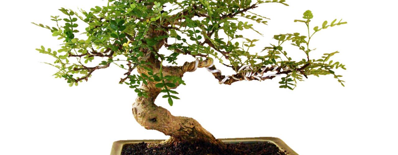 Bonsai Jardines modernos de Genki-Bonsai Moderno