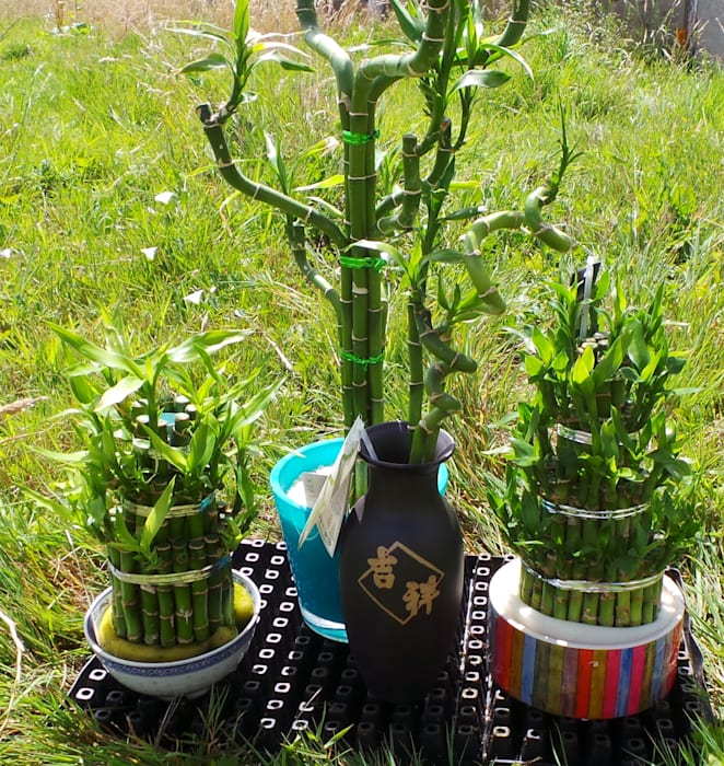 Lucky Bamboo - Feng Shui for the home! di Perfect Plants Ltd Rurale