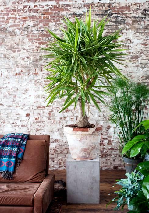 Die Yucca - Zimmerpflanze des Monats Januar Pflanzenfreude.de WohnzimmerAccessoires und Dekoration