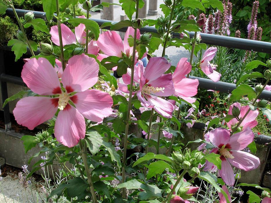 Hibiscus syriacus en pot: jardin de style par my little jardin | homify
