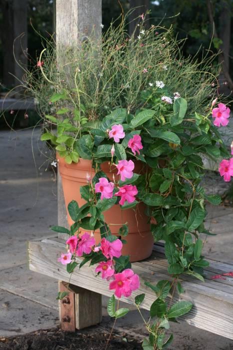 Pot e dipladenia et gaura jardin de style par my little jardin homify - My little jardin ...