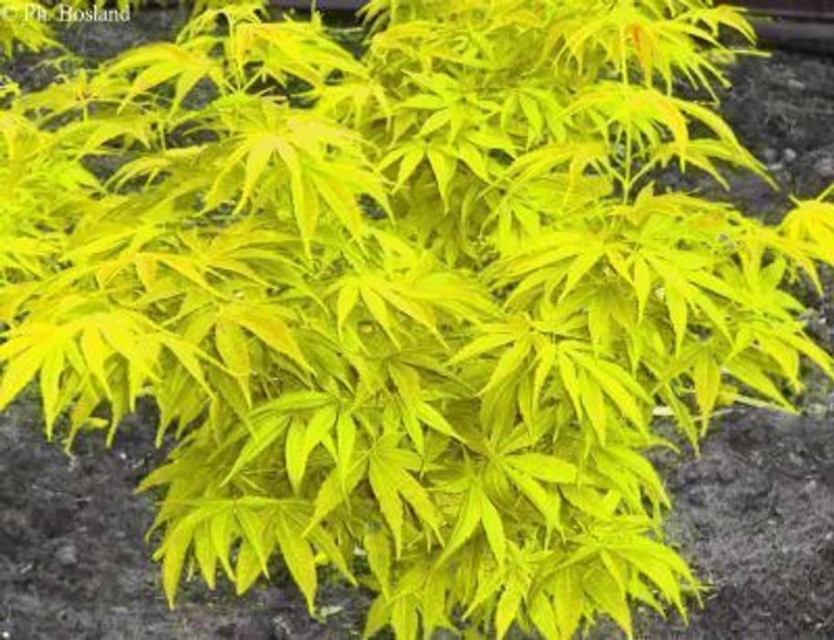 Sarı yapraklı japon akçaağacı Klasik Bahçe CanlıBahçe Fidancılık Klasik
