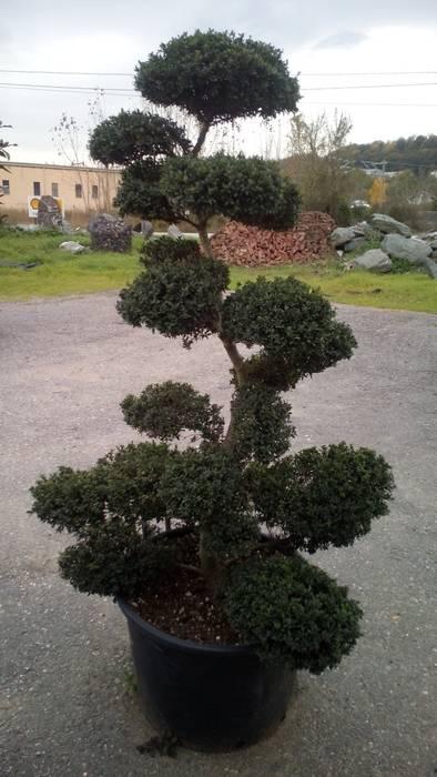 İlex Crenata Bonsai Klasik Bahçe CanlıBahçe Fidancılık Klasik