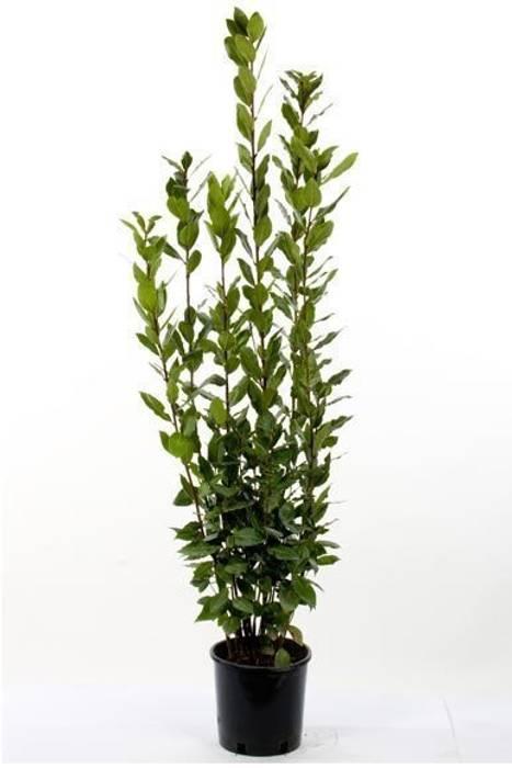 CanlıBahçe Fidancılık – Defne Ağacı :  tarz Bahçe, Klasik