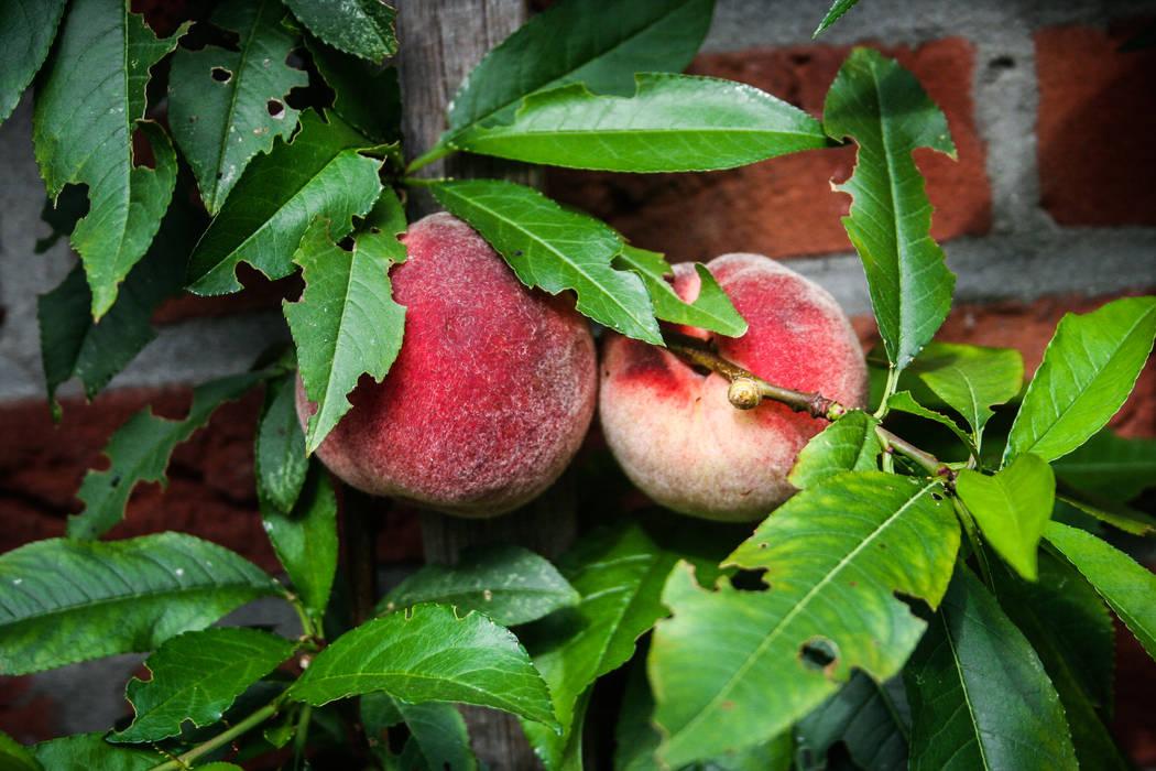 Leifruit perzikbomen Landelijke tuinen van groenpartners Landelijk