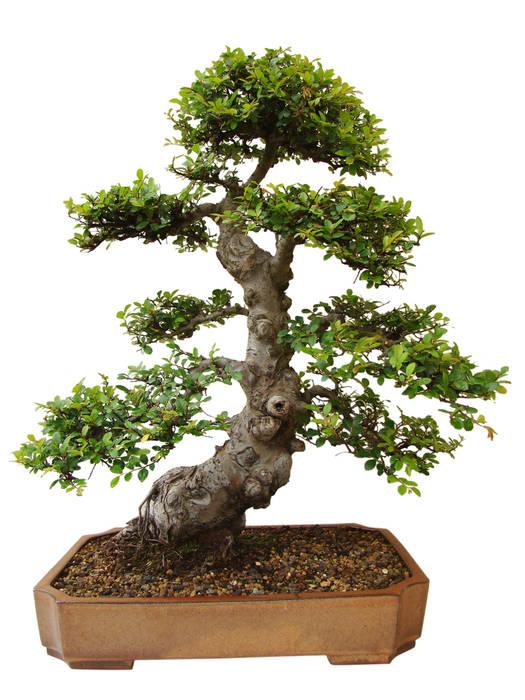 Bonsai Jardines de estilo moderno de Genki-Bonsai Moderno