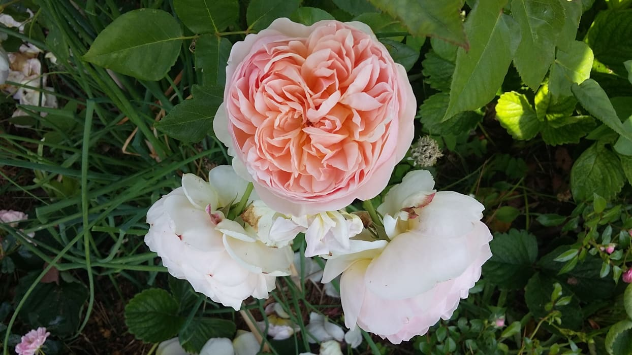 Rosa David Austin, Abraham Darby: Jardins  por Maria Mayer   Interior & Landscape Design,