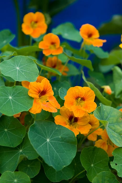 nasturtium:  Garden by Earth Designs