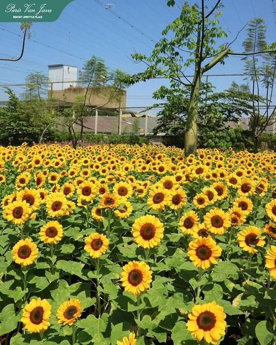 SUNFEST Sunflower Festival at Paris an Java Bandung Beta Landscape Indonesia Pusat Perbelanjaan Modern Aluminium/Seng Yellow