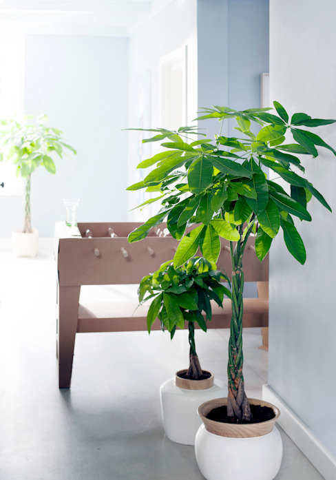 Die Zimmerbäume – Zimmerpflanzen des Monats Januar 2016: modern  von Pflanzenfreude.de,Modern