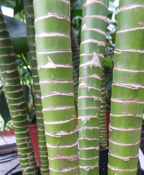 The stems of Tiger's bamboo are beautiful when seen in close-up de Perfect Plants Ltd Asiático Fibra natural Beige