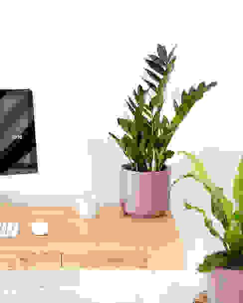 Zamioculcas zamiifolia | Planta da Sorte Urban Jungle - Plantas e Projectos CasaPlantas e acessórios