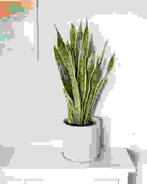 Espada de São Jorge | Sansevieria trifasciata Urban Jungle - Plantas e Projectos CasaPlantas e acessórios