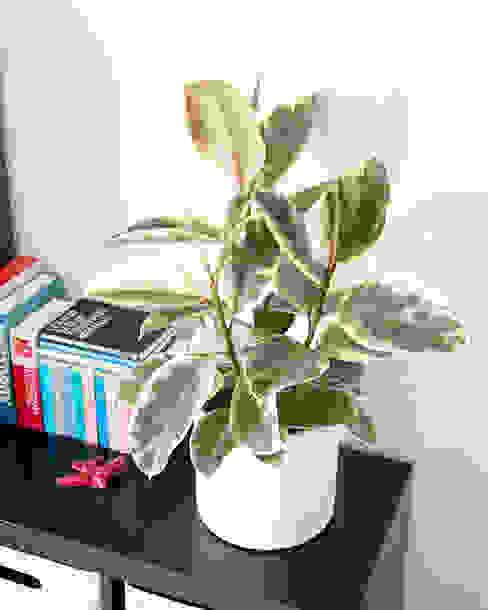 Ficus elastica 'Tineke' Urban Jungle - Plantas e Projectos CasaPlantas e acessórios