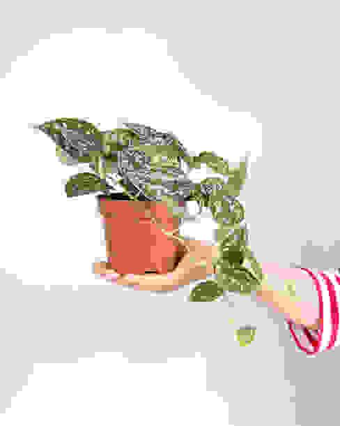 Scindapsus pictus | Jiboia prateada Urban Jungle - Plantas e Projectos CasaPlantas e acessórios