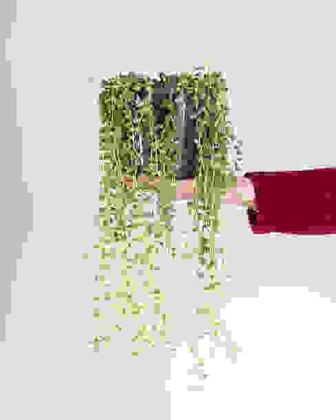 Senecio rowleyanus 'Tear drops' Urban Jungle - Plantas e Projectos CasaPlantas e acessórios