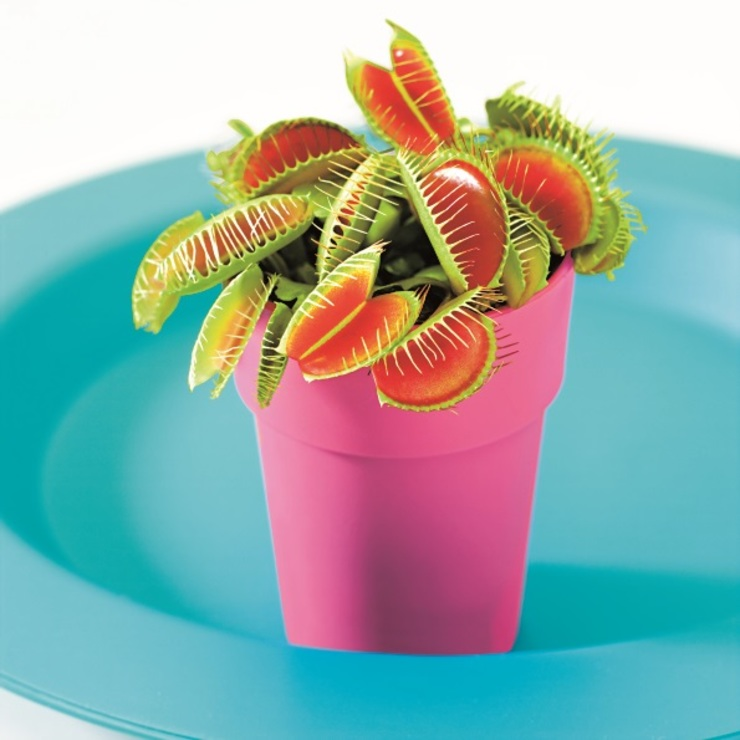 Venus Flytrap 根據 Bakker.com 現代風
