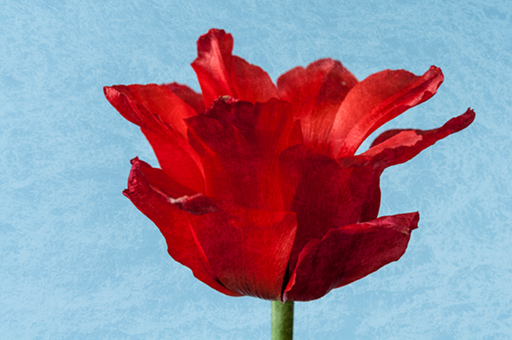 Red Tulip by Steve Purnell