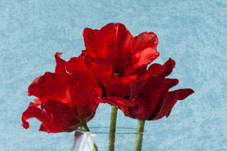 Red Tulips by Steve Purnell