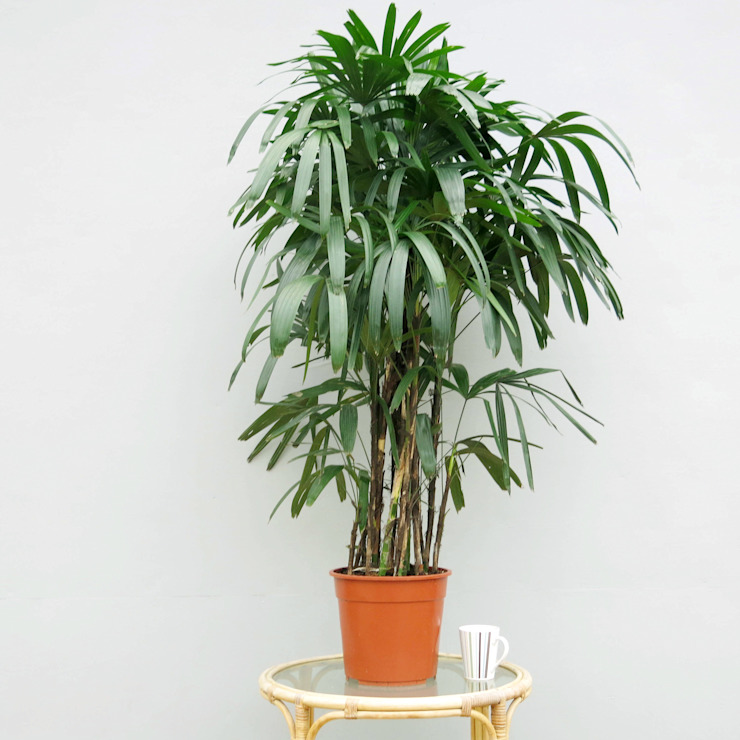 Lady Palm (Rhapis excelsa) van homify Tropisch