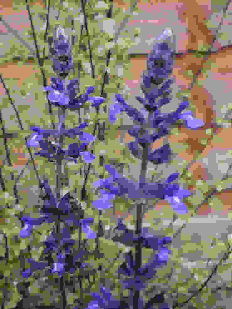 Salvia and Pittosporum Fenton Roberts Garden Design สวน